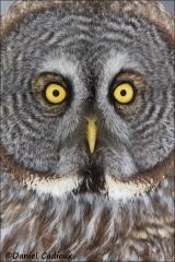 Great_Gray_Owl_1948-13