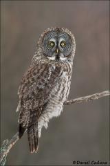 Great_Gray_Owl_2207-13