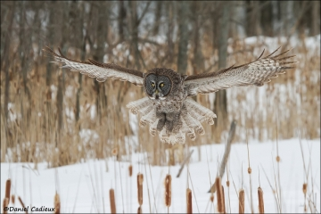Great_Gray_Owl_2281-13