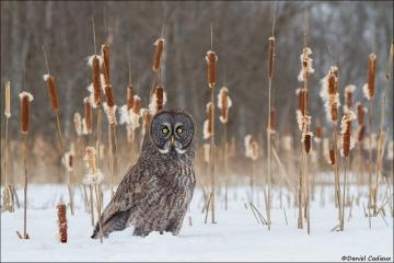 Great_Gray_Owl_2288-13