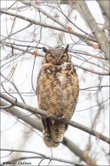 Great_Horned_Owl_3002-16