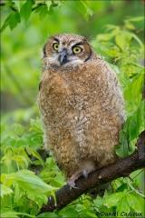 Great_Horned_Owl_7924-13