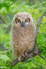 Great_Horned_Owl_8332-13