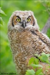 Great_Horned_Owl_8567-13