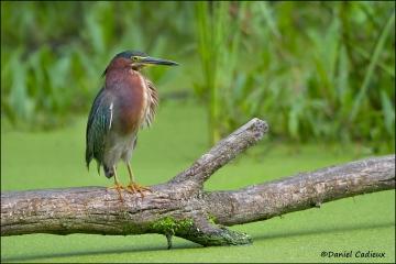 Green_Heron_1493-11