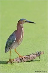 Green_Heron_1713-11