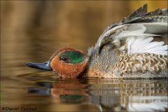 Green-winged_Teal_7724-13