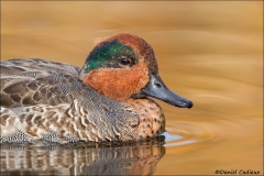 Green-winged_Teal_7834-13