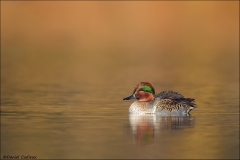 Green-winged_Teal_0315-15