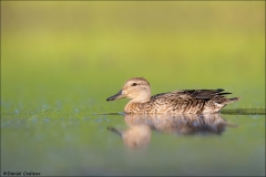 Green-winged_Teal_2803-16