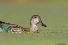 Green-winged_Teal_5521-16