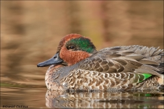 Green-winged_Teal_7750-13