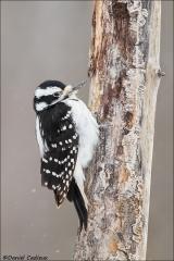 Hairy_Woodpecker_2629-17