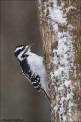 Hairy_Woodpecker_7876-16