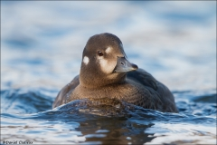 Harlequin_Duck_8861-14