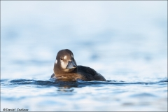 Harlequin_Duck_8871-14
