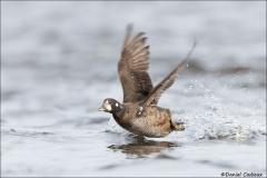 Harlequin_Duck_1855-16