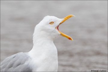 Herring Gull_4689-18