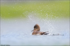 Hooded_Merganser_1928-15