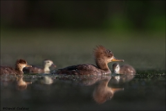 Hooded_Merganser_2708-17