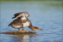 Hooded_Merganser_9169-11