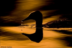 Hooded_Merganser_9710-16