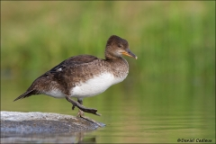 Hooded_Merganser_0178-12