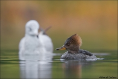 Hooded_Merganser_0232-13