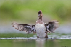 Hooded_Merganser_1955-15