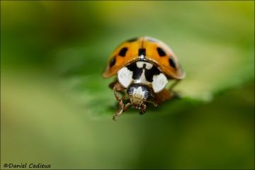 Asian_Ladybug_7489-13