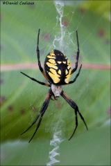 Black_and_Yellow_Argiope_1384-17