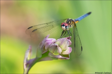 Blue_Dasher_5942-17