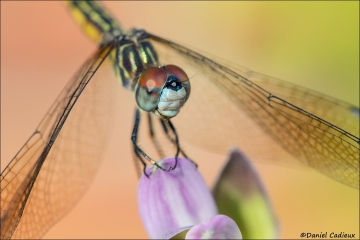Blue_Dasher_Female_5884-17