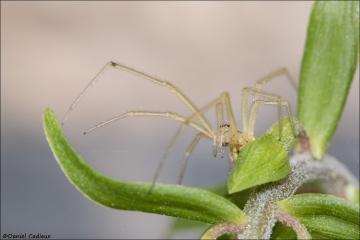 Cellar Spider_5814-18
