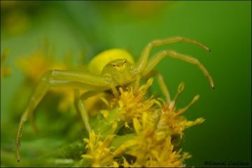Crab_Spider_6201-11