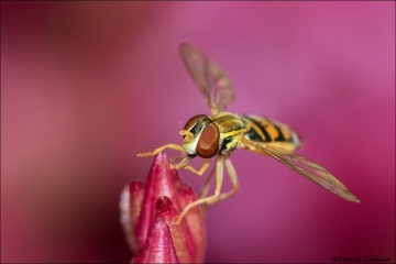 Hover_Fly_5774-17