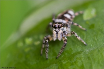 Jumping Spider_5783-18