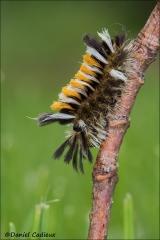 Milkweed_Tussock_Moth_Caterpillar_7781-13