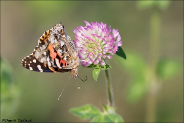 Painted_Lady_6309-17