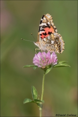 Painted_Lady_6593-17