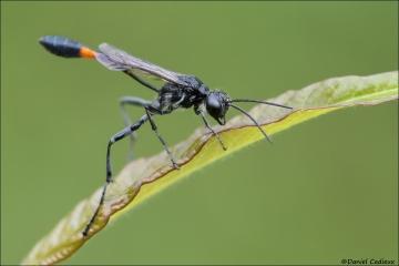 Thread-waisted Wasp_4276-18