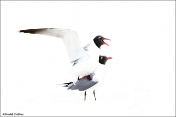 Laughing_Gull_2623-12