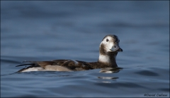 Long-tailed_Duck_1788-11