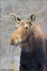 Moose_8533-14