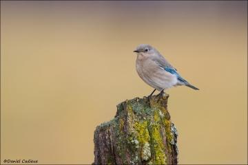 Mountain_Bluebird_4384-15