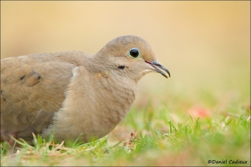 Mourning_Dove_0637-12