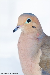 Mourning_Dove_9390-14