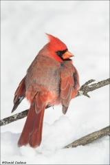 Northern Cardinal_5002-18