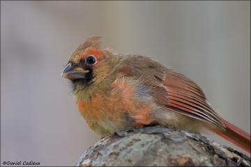 Northern_Cardinal_7881-14