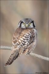 Northern Hawk Owl_0080-18